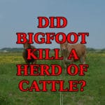 Bigfoot Kills Herd Of Cattle