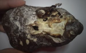 Bottom of alien skull from Peru